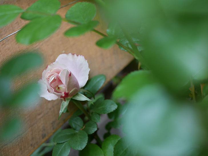 アントニオ・ガウディ(Antonio Gaudi)の花が少し咲いた。半ツルバラ。2021年-005.jpg