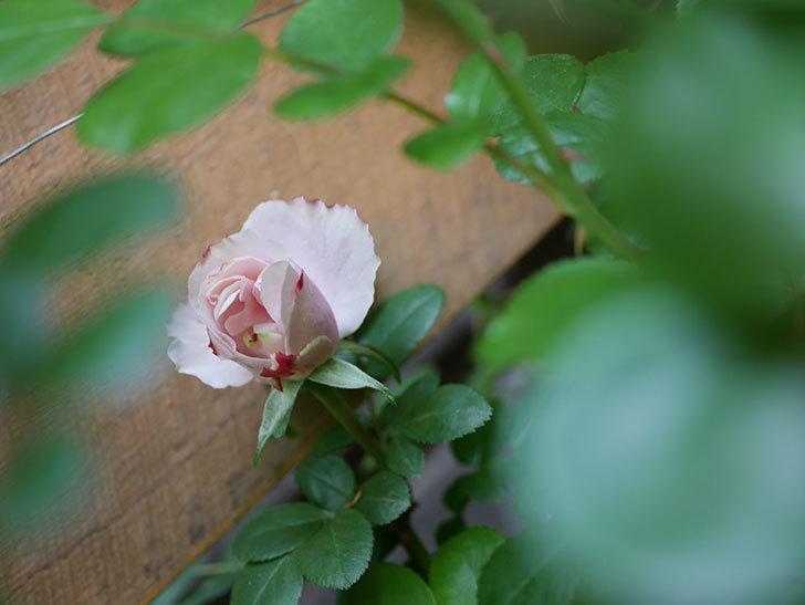 アントニオ・ガウディ(Antonio Gaudi)の花が少し咲いた。半ツルバラ。2021年-006.jpg