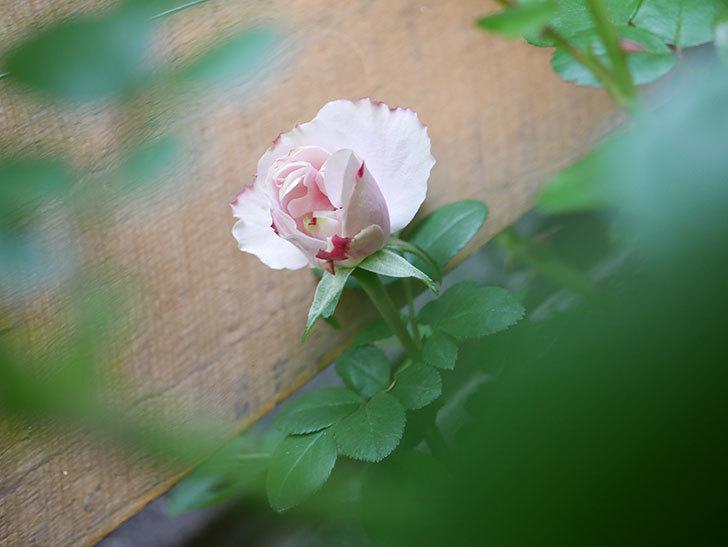 アントニオ・ガウディ(Antonio Gaudi)の花が少し咲いた。半ツルバラ。2021年-008.jpg