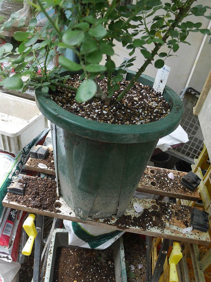 アントニオ・ガウディ(Antonio Gaudi)を懸崖鉢10号に植え換えた。半ツルバラ。2020年-008.jpg