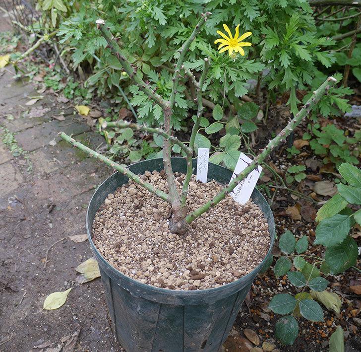 アントニオ・ガウディ(半ツルバラ)の大苗を8号ロングスリット鉢に植えた。2019年-1.jpg