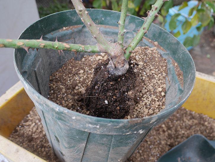 アントニオ・ガウディ(半ツルバラ)の大苗を8号ロングスリット鉢に植えた。2019年-3.jpg