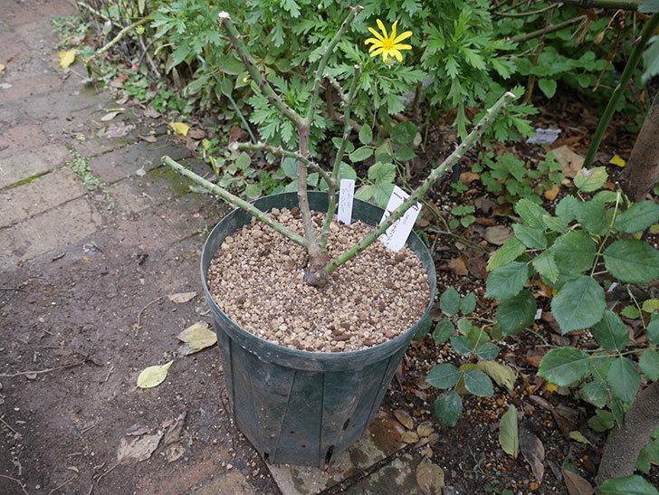アントニオ・ガウディ(半ツルバラ)の大苗を8号ロングスリット鉢に植えた。2019年-5.jpg
