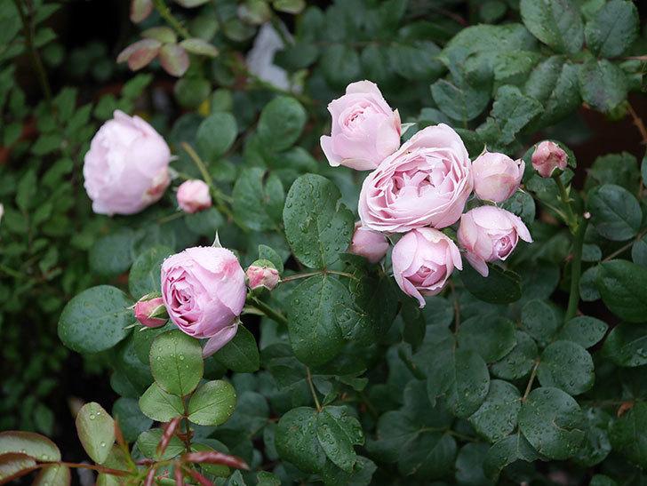 アントニオ・ガウディ(半ツルバラ)の花がたくさん咲いた2020年-001.jpg