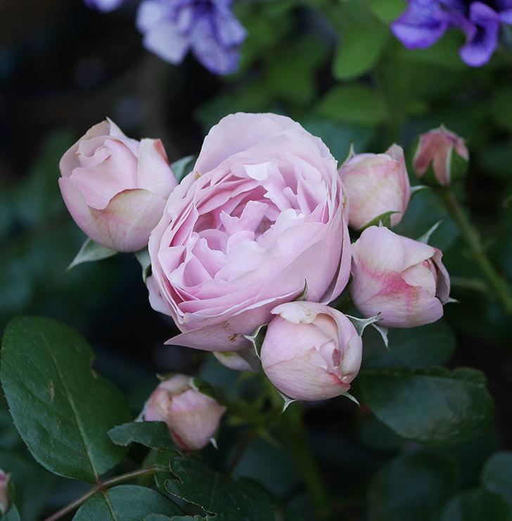 アントニオ・ガウディ(半ツルバラ)の花が咲いた2020年-1.jpg