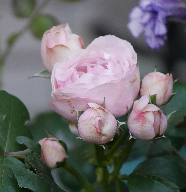 アントニオ・ガウディ(半ツルバラ)の花が咲いた2020年-10.jpg