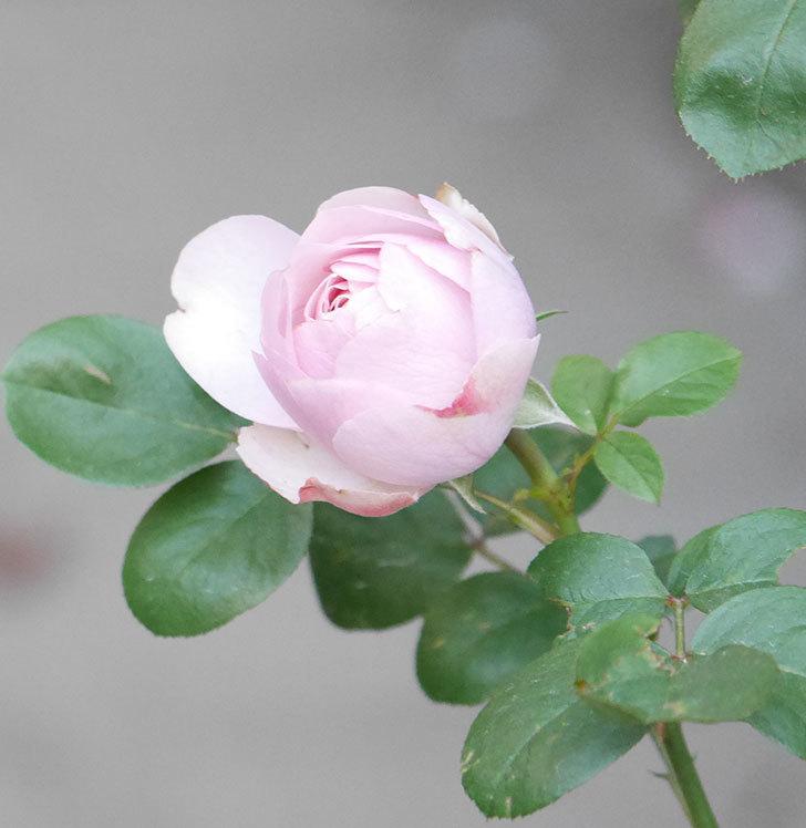 アントニオ・ガウディ(半ツルバラ)の花が咲いた2020年-11.jpg