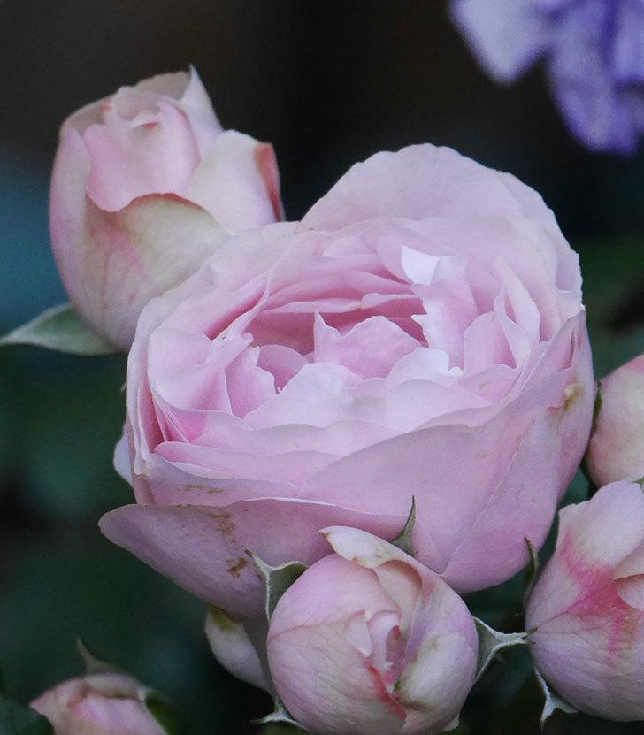 アントニオ・ガウディ(半ツルバラ)の花が咲いた2020年-12.jpg