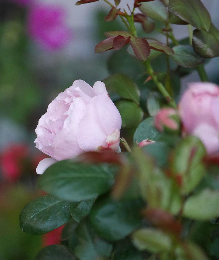 アントニオ・ガウディ(半ツルバラ)の花が咲いた2020年-13.jpg