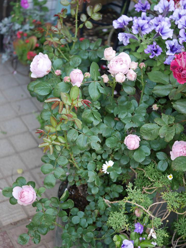 アントニオ・ガウディ(半ツルバラ)の花が咲いた2020年-2.jpg