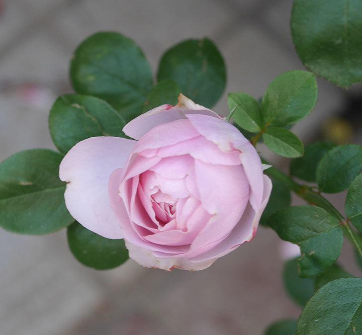 アントニオ・ガウディ(半ツルバラ)の花が咲いた2020年-3.jpg