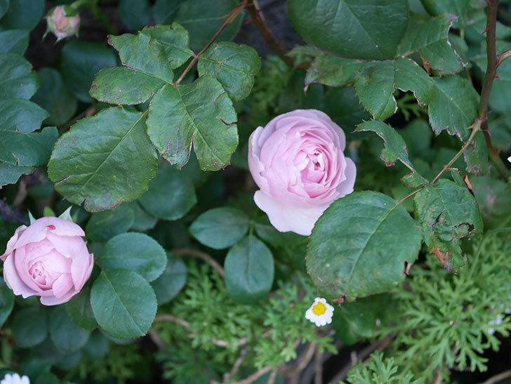 アントニオ・ガウディ(半ツルバラ)の花が咲いた2020年-4.jpg