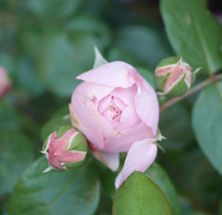 アントニオ・ガウディ(半ツルバラ)の花が咲いた2020年-6.jpg