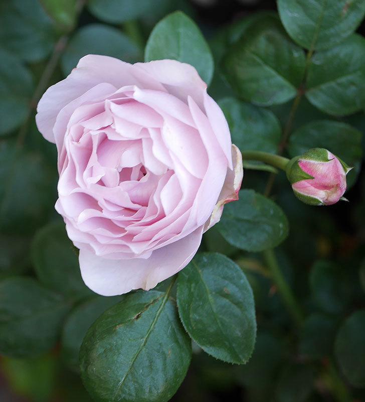 アントニオ・ガウディ(半ツルバラ)の花が咲いた2020年-7.jpg