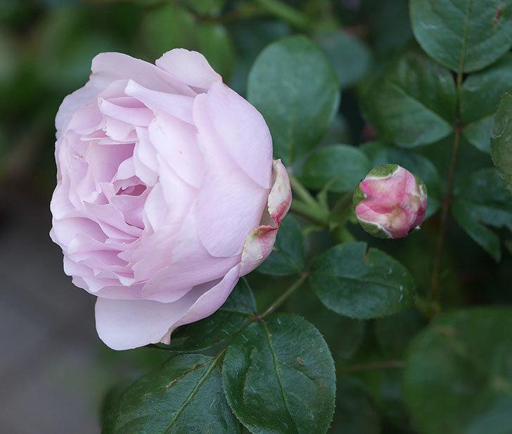 アントニオ・ガウディ(半ツルバラ)の花が咲いた2020年-8.jpg