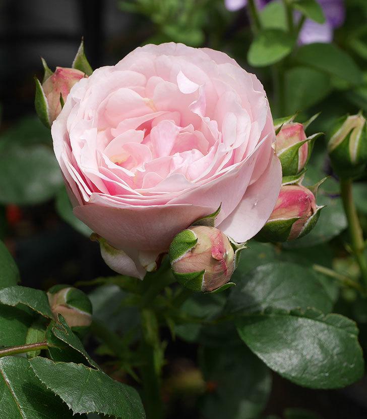 アントニオ・ガウディ(半ツルバラ)の花が咲きだした2020年-1.jpg