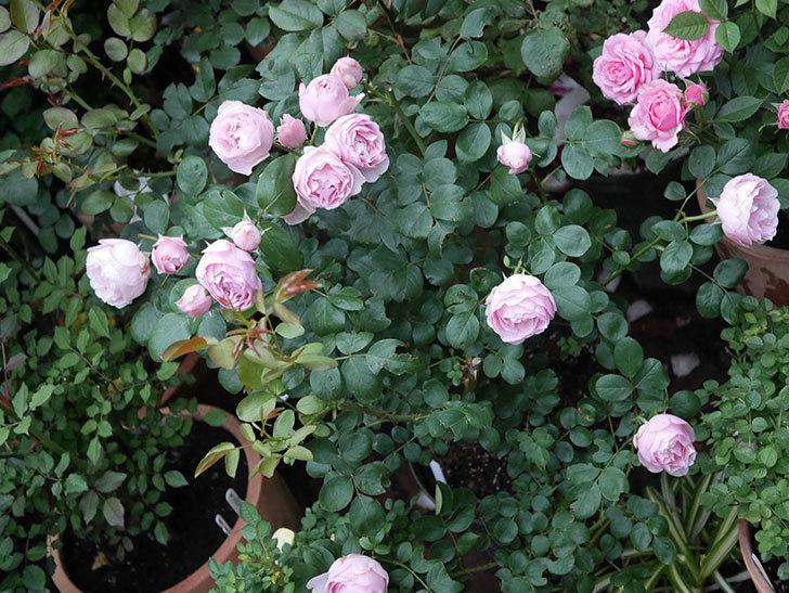 アントニオ・ガウディ(半ツルバラ)の花が増えて良い感じになってきた。2020年-001.jpg
