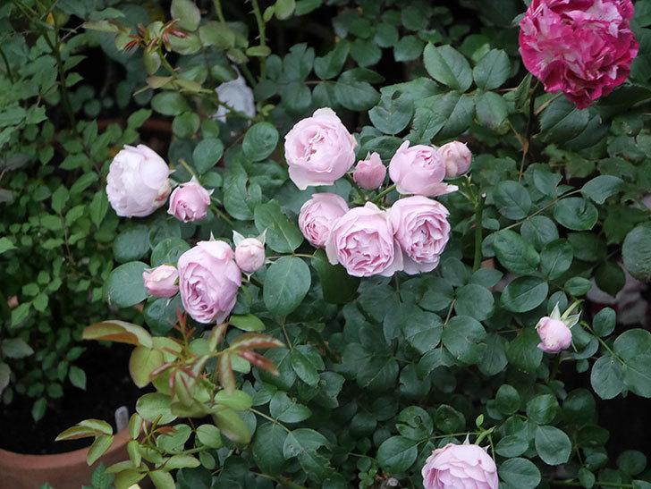 アントニオ・ガウディ(半ツルバラ)の花が増えて良い感じになってきた。2020年-002.jpg