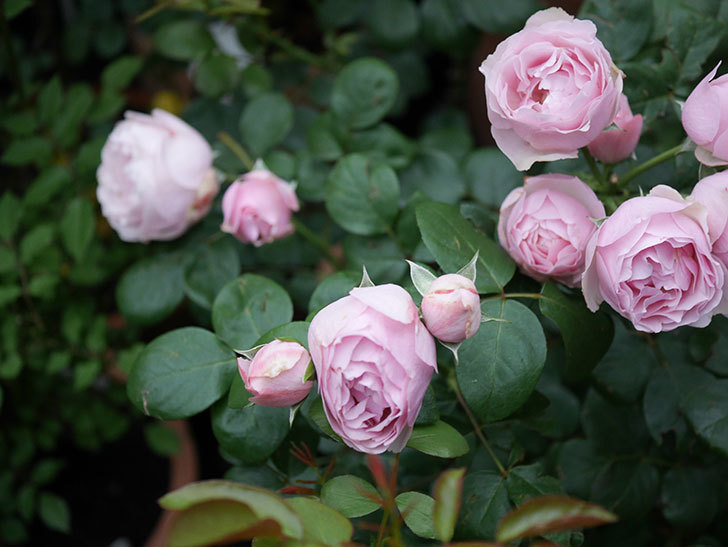 アントニオ・ガウディ(半ツルバラ)の花が増えて良い感じになってきた。2020年-004.jpg