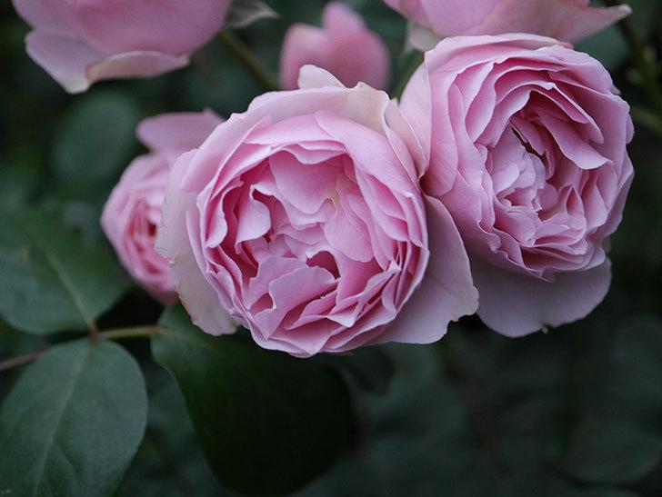 アントニオ・ガウディ(半ツルバラ)の花が増えて良い感じになってきた。2020年-005.jpg