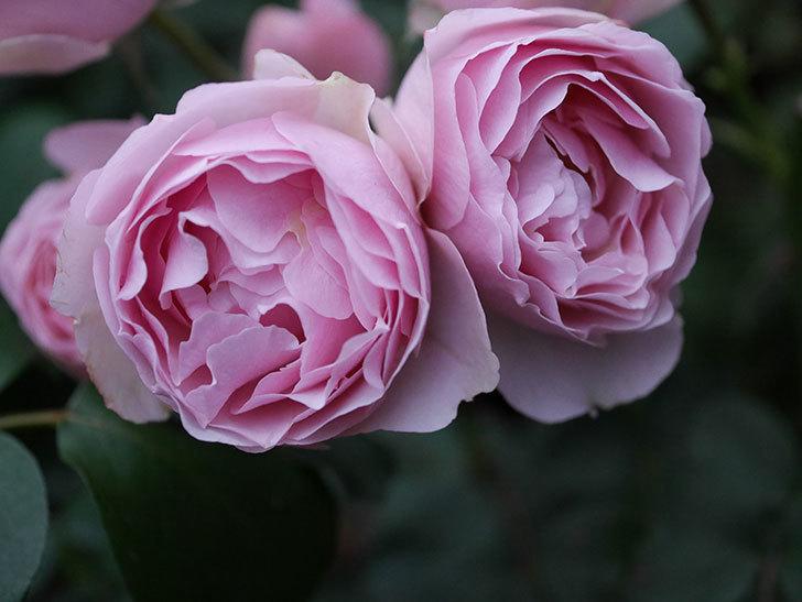 アントニオ・ガウディ(半ツルバラ)の花が増えて良い感じになってきた。2020年-006.jpg