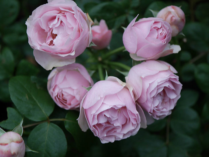 アントニオ・ガウディ(半ツルバラ)の花が増えて良い感じになってきた。2020年-007.jpg