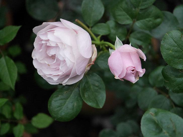 アントニオ・ガウディ(半ツルバラ)の花が増えて良い感じになってきた。2020年-008.jpg