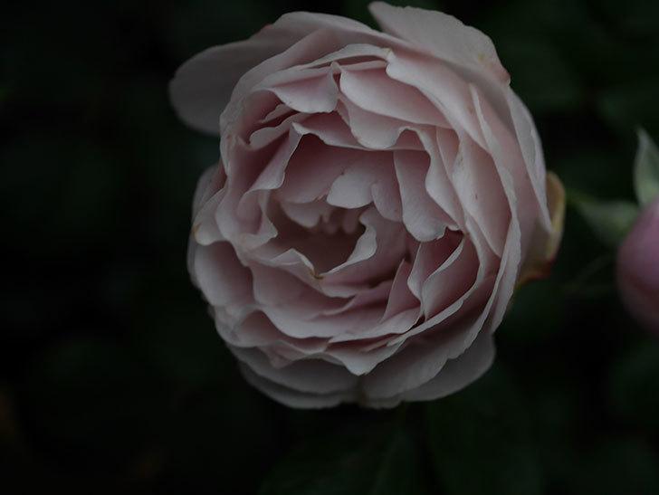 アントニオ・ガウディ(半ツルバラ)の花が増えて良い感じになってきた。2020年-009.jpg
