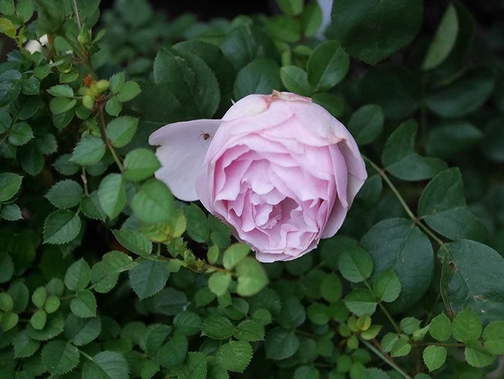 アントニオ・ガウディ(半ツルバラ)の花が増えて良い感じになってきた。2020年-010.jpg