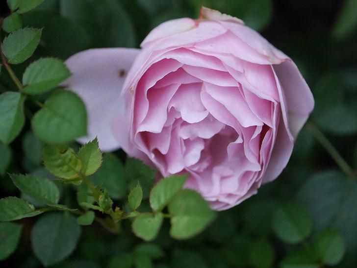 アントニオ・ガウディ(半ツルバラ)の花が増えて良い感じになってきた。2020年-011.jpg
