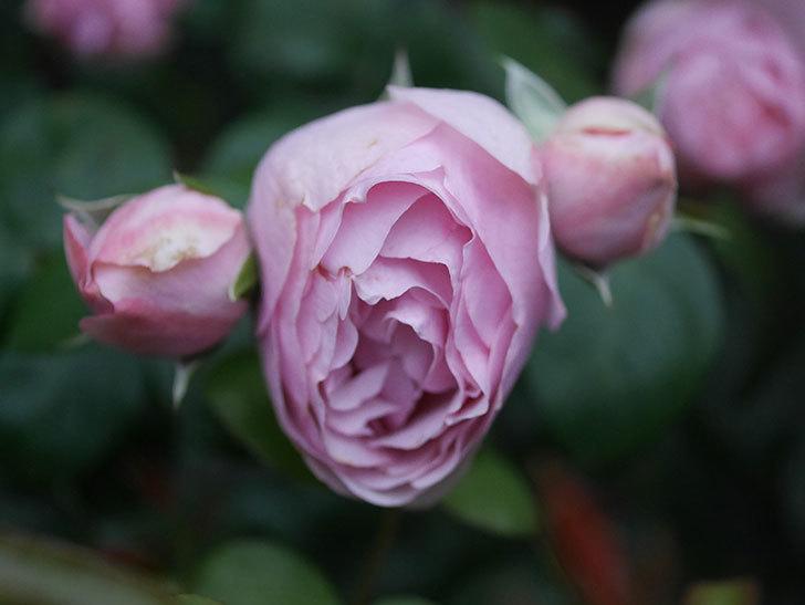 アントニオ・ガウディ(半ツルバラ)の花が増えて良い感じになってきた。2020年-012.jpg