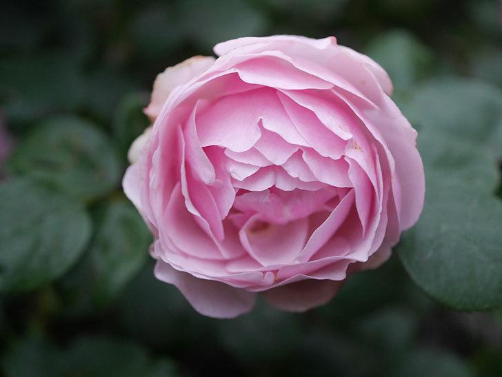 アントニオ・ガウディ(半ツルバラ)の花が増えて良い感じになってきた。2020年-013.jpg
