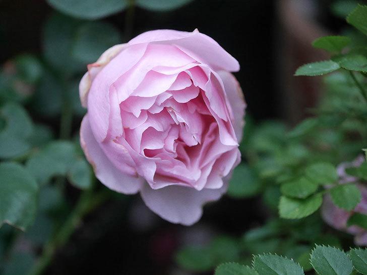 アントニオ・ガウディ(半ツルバラ)の花が増えて良い感じになってきた。2020年-014.jpg