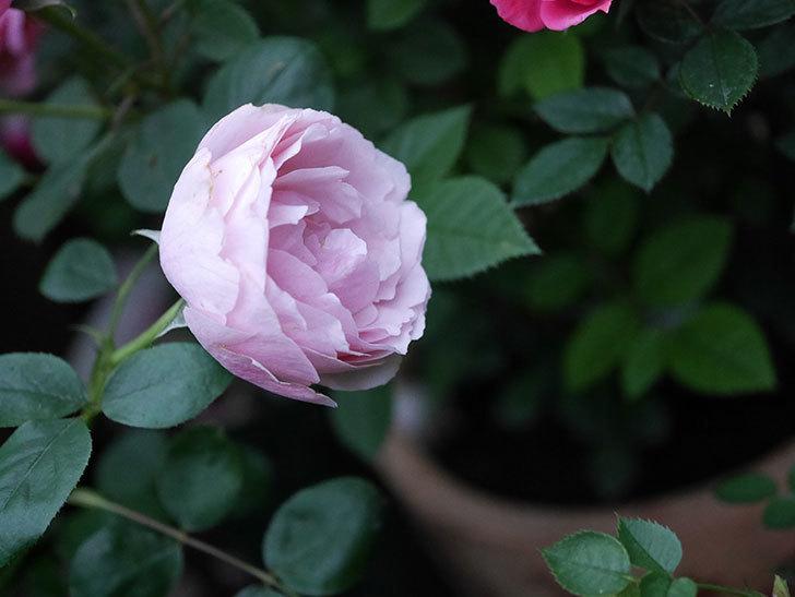アントニオ・ガウディ(半ツルバラ)の花が増えて良い感じになってきた。2020年-015.jpg
