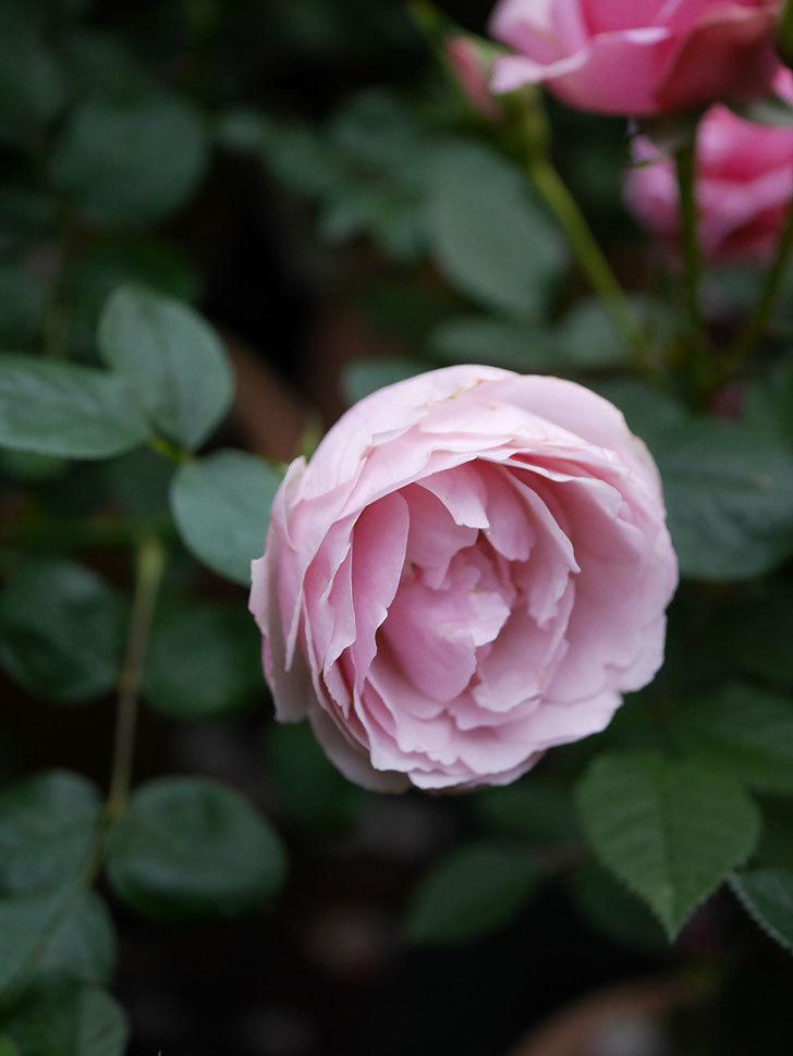 アントニオ・ガウディ(半ツルバラ)の花が増えて良い感じになってきた。2020年-016.jpg