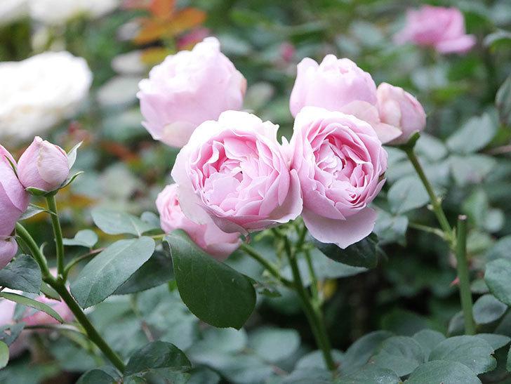 アントニオ・ガウディ(半ツルバラ)の花が増えて良い感じになってきた。2020年-017.jpg