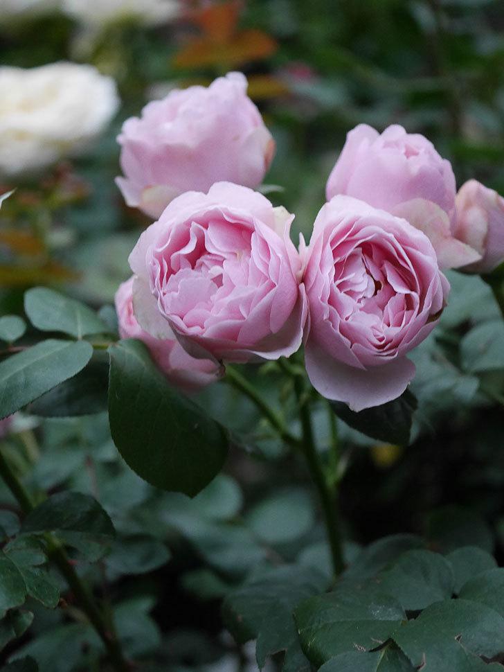 アントニオ・ガウディ(半ツルバラ)の花が増えて良い感じになってきた。2020年-018.jpg