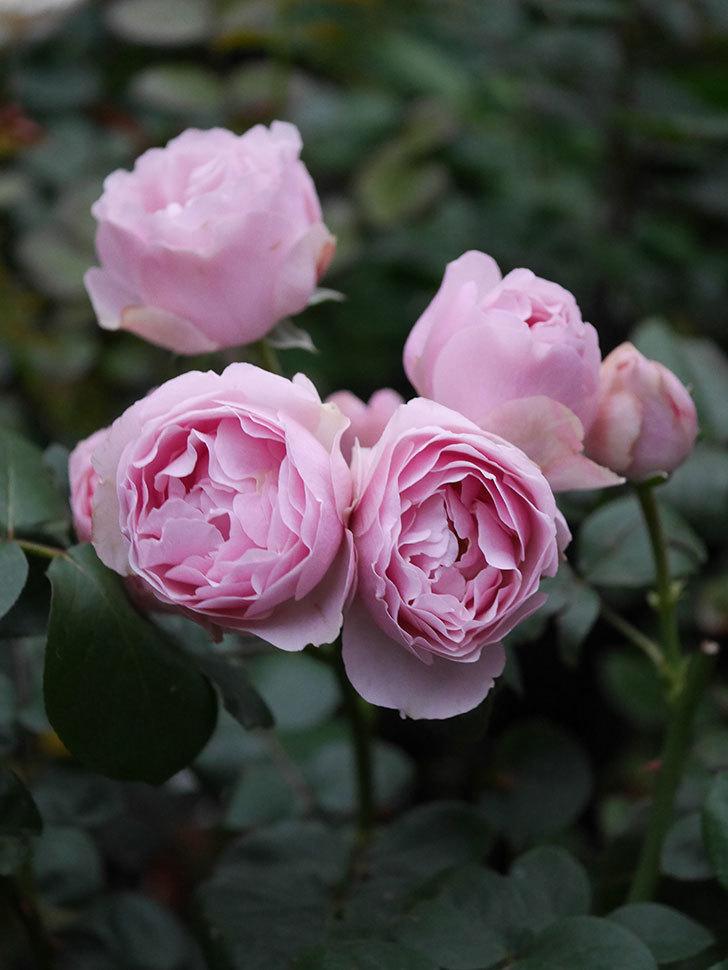 アントニオ・ガウディ(半ツルバラ)の花が増えて良い感じになってきた。2020年-019.jpg