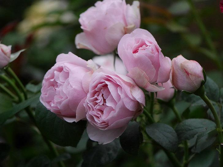 アントニオ・ガウディ(半ツルバラ)の花が増えて良い感じになってきた。2020年-020.jpg