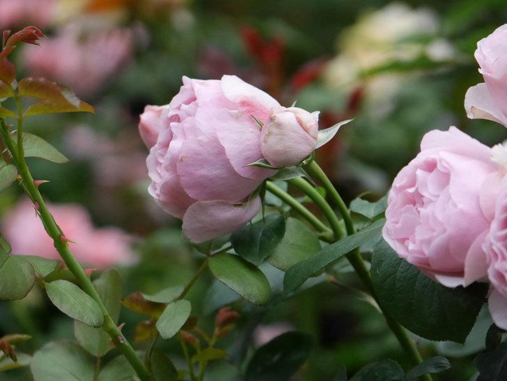 アントニオ・ガウディ(半ツルバラ)の花が増えて良い感じになってきた。2020年-021.jpg