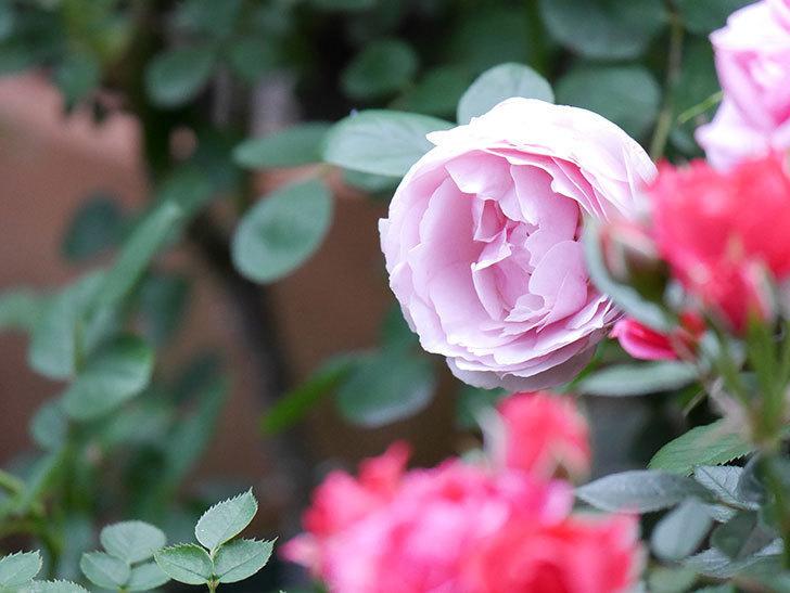 アントニオ・ガウディ(半ツルバラ)の花が増えて良い感じになってきた。2020年-022.jpg
