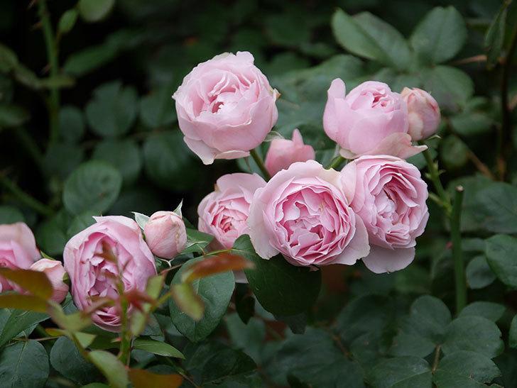 アントニオ・ガウディ(半ツルバラ)の花が増えて良い感じになってきた。2020年-023.jpg