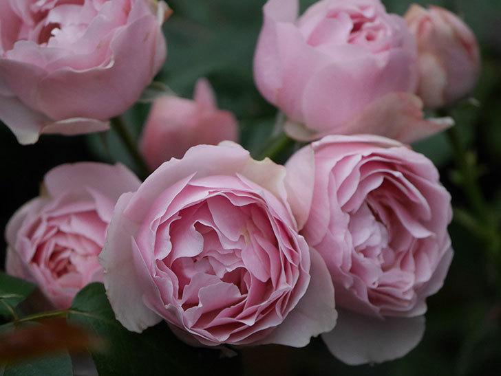 アントニオ・ガウディ(半ツルバラ)の花が増えて良い感じになってきた。2020年-024.jpg