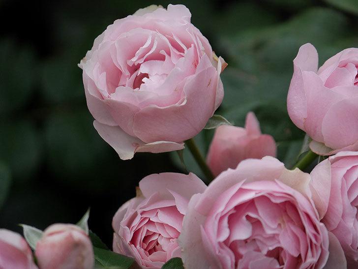 アントニオ・ガウディ(半ツルバラ)の花が増えて良い感じになってきた。2020年-025.jpg