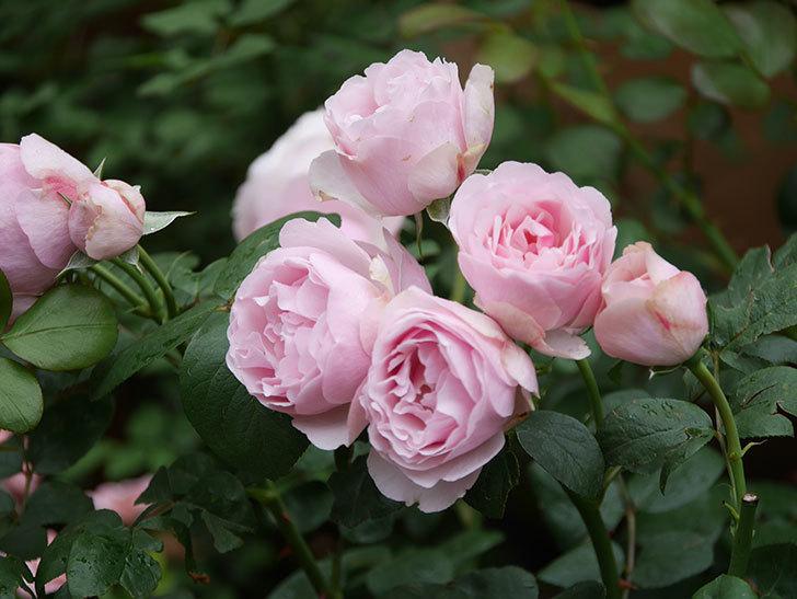 アントニオ・ガウディ(半ツルバラ)の花が増えて良い感じになってきた。2020年-026.jpg