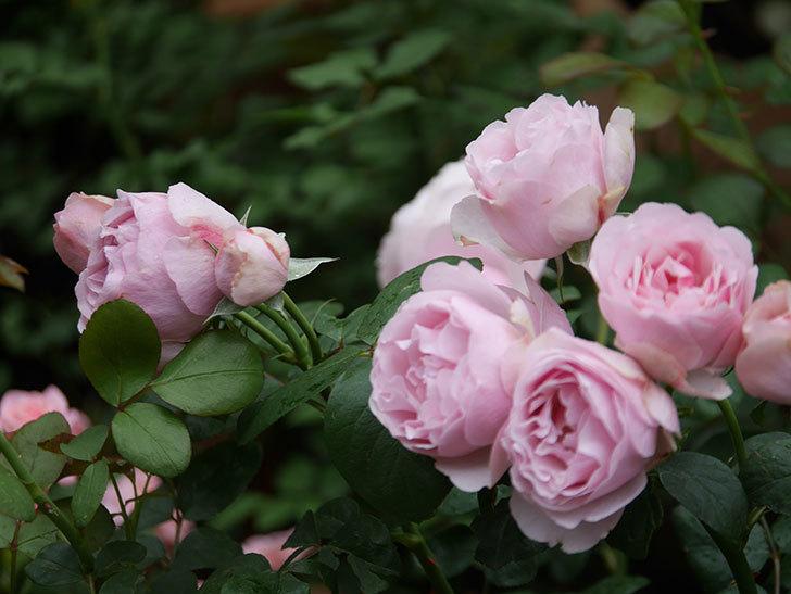 アントニオ・ガウディ(半ツルバラ)の花が増えて良い感じになってきた。2020年-027.jpg