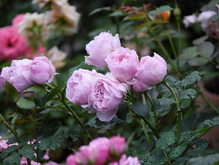 アントニオ・ガウディ(半ツルバラ)の花が満開になった。2020年-001.jpg