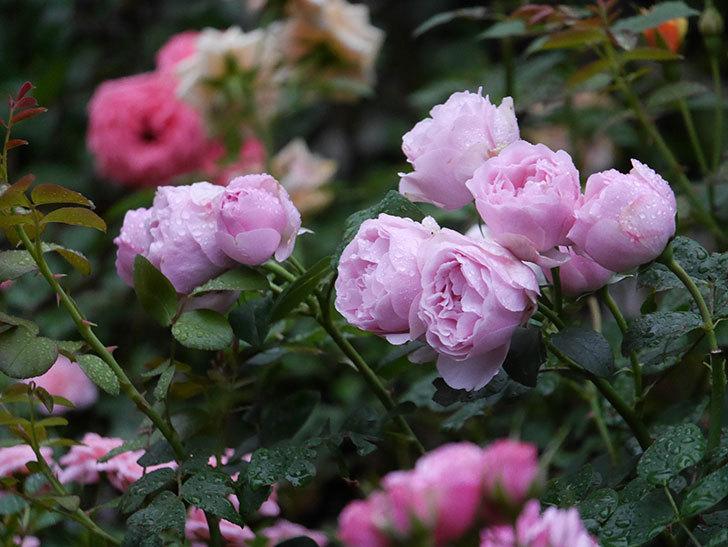 アントニオ・ガウディ(半ツルバラ)の花が満開になった。2020年-002.jpg