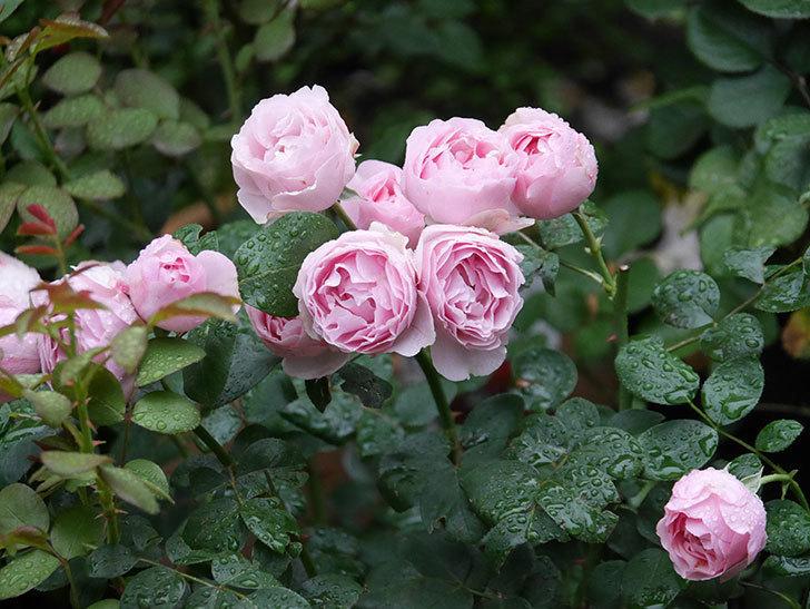 アントニオ・ガウディ(半ツルバラ)の花が満開になった。2020年-003.jpg