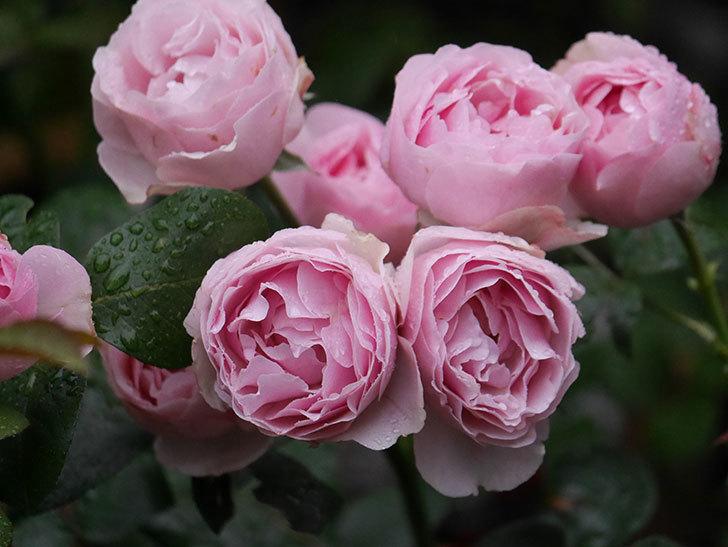 アントニオ・ガウディ(半ツルバラ)の花が満開になった。2020年-004.jpg